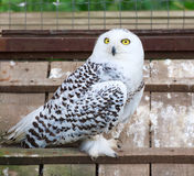 Snowy white owl sitting in cage Royalty Free Stock Photography
