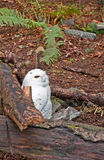 Snowy White Owl Sitting in Forest. This snowy white owl with yellow eyes, stands out starkly against its forest setting.  He is sitting on the ground next to Stock Images