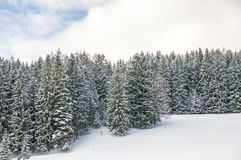Snowy white pines Stock Photos