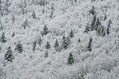 Snowy white trees in the mountains Royalty Free Stock Image
