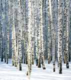 Snowy winter birch grove in sunlight Stock Photos