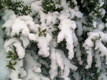 Snowy winter Bush. Background snowy winter Bush detail Stock Photo