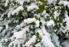 Snowy winter Bush. Background snowy winter Bush detail Royalty Free Stock Images