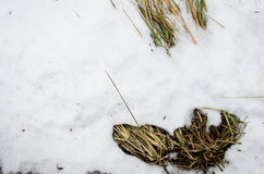 Snowy winter evening cattail. Dry Typha Latifolia flowers , also called Cattails, in the snow close to the frozen day covered by t Royalty Free Stock Photography