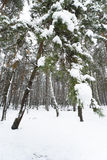 Snowy Winter in the Forest Royalty Free Stock Images