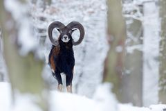 Snowy winter in forest. Animal Mouflon, Ovis orientalis, horned animal in nature habitat. Close-up portrait of mammal with big stock images