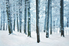 Snowy winter forest Royalty Free Stock Photography