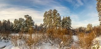 Snowy winter forest with bushes and fir trees, Russia, the Urals, January Stock Images