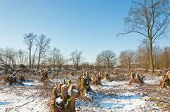 Snowy winter forest after clearcutting Royalty Free Stock Image