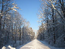 Snowy winter forest and knurled wide trails. Christmas morning. Royalty Free Stock Photos