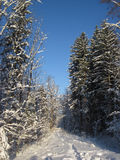 Snowy winter forest and knurled wide trails. Christmas morning. Royalty Free Stock Photography