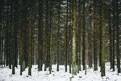 Snowy winter in the forest. The line of trees. Snowy winter in the forest Stock Photography