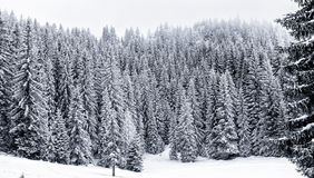 Snowy winter forest with pine or spruce trees covered snow Stock Photo