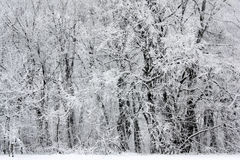Snowy winter forest scene. Snow covered trees of a quiet winter forest Stock Photo