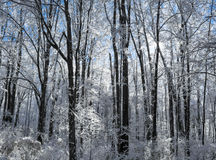 Snowy Winter Forest Scene Stock Photography