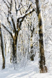 Snowy winter forest, seasonal natural scene Stock Photography