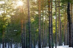 Snowy Winter Forest With Sunbeams Through The Pine Trees.  royalty free stock image