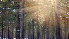 Snowy Winter Forest With Sunbeams Through The Pine Trees.  stock photography