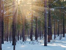 Snowy Winter Forest With Sunbeams Through The Pine Trees.  royalty free stock photos