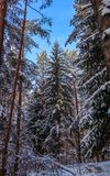 Snowy winter forest in a sunny day. Snow-covered spruces and pines on a background of blue sky.  royalty free stock photos
