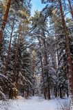 Snowy winter forest in a sunny day. Snow-covered spruces and pines on a background of blue sky.  royalty free stock image