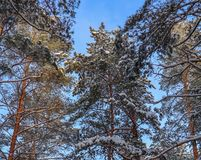 Snowy winter forest in a sunny day. Snow-covered spruces and pines on a background of blue sky.  stock image