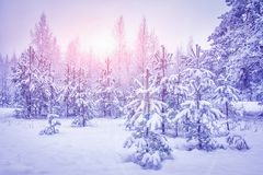 Snowy winter forest at sunrise. Landscape of Christmas trees after snowfall on bright sunlight. Xmas background. Winter nature Stock Image