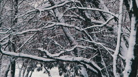 Snowy Winter Forest. Winter forest with snowy tree. Snow falling and covered fir trees on a winter day. Winter background. Snow comes in the Christmas forest stock footage