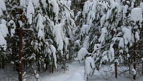 Snowy winter forest. stock video footage