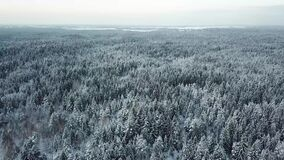 Beautiful white winter trees in forest. Snowy winter forest with white beautiful trees in the deep faraway stock footage