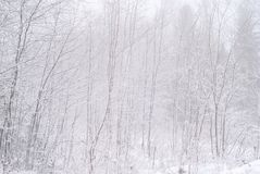 Snowy winter grove. Winter grove after snowfall in a frosty haze, young deciduous trees covered with snow stock photo