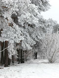 Snowy winter landscape. A frozen forest covered with snow stock photography