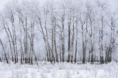 Snowy winter landscape with aspen grove, Elk Island National Park, Canada stock images