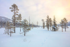 Snowy winter landscape - pine trees covered snow Royalty Free Stock Photography