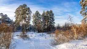 Snowy winter Park with bushes and fir trees, Russia, Ural Stock Photos