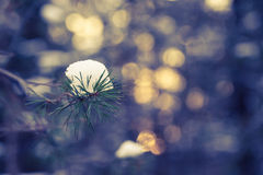 Snowy winter in the pine forest. Blured background. Toned Royalty Free Stock Image