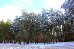 Snowy winter pine forest Royalty Free Stock Photo