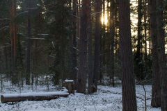 Snowy winter in the pine forest. Selective focus Royalty Free Stock Images