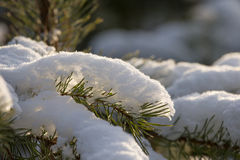 Snowy winter in the pine forest. Selective focus. Shallow depth Royalty Free Stock Photo