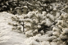 Snowy winter in the pine forest. Selective focus. Shallow depth Royalty Free Stock Photos