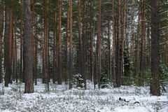 Snowy winter in the pine forest. Selective focus. Shallow depth Stock Images