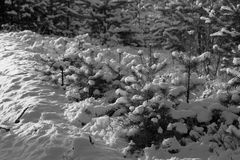 Snowy winter in the pine forest. Selective focus. Shallow depth Royalty Free Stock Image