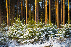 Snowy winter in the pine forest. Selective focus. Shallow depth Royalty Free Stock Photography