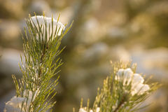 Snowy winter in the pine forest. Selective focus. Shallow depth Royalty Free Stock Images
