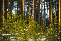 Snowy winter in the pine forest. Selective focus. Shallow depth Stock Photo