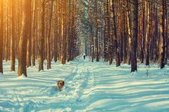 Snowy winter pine forest Stock Images