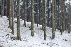 Snowy winter season forest landscape. Beautiful winter snowfall in conifer tree unspoiled nature forest landscape royalty free stock photos
