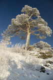 Snowy winter tree. On a background of the light-blue sky a tree in snow Stock Image