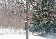 Snowy Winter Tree with Male Cardinals royalty free stock photo