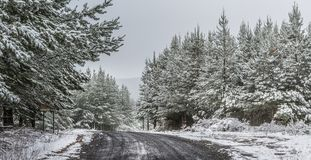 A snowy wintry day. A gravel road winding through plantation pine forests covered in fresh snow as further light snow continues stock photo